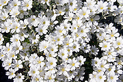 Little White Flowers with yellow centres clustered together growing in abundance