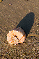 Conque shell on beach Cape May, NJ