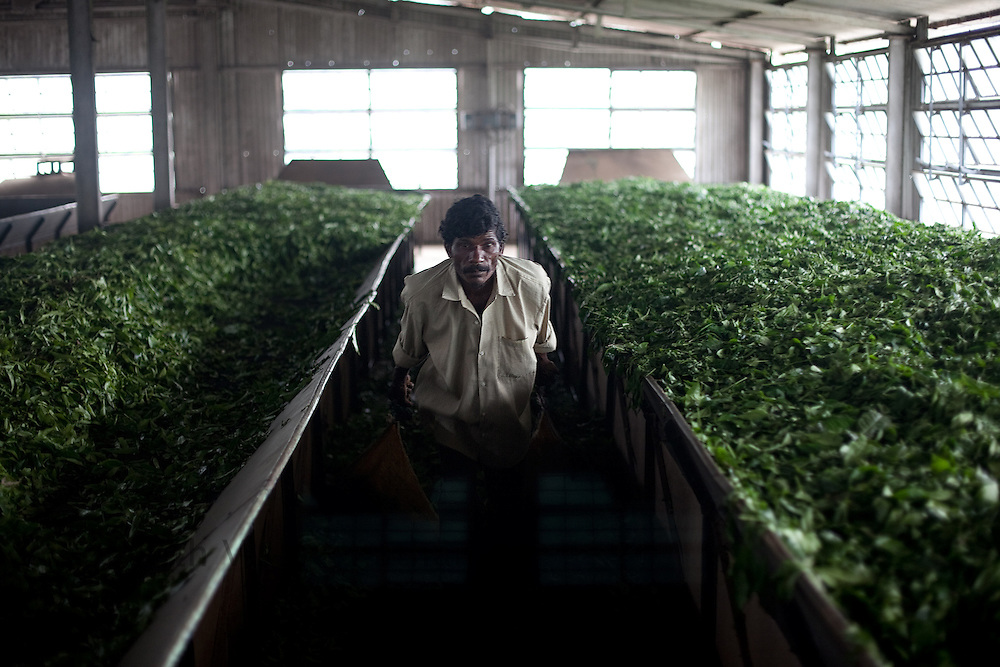 A worker pulls tea leaves at the withering section at a tea factory in Conoor, India, on Thursday May 20, 2010. Photographer: Prashanth Vishwanathan/Bloomberg News