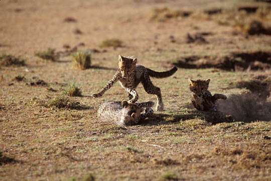 Cheetah, (Acinonyx jubatus) Cubs playing together. Masai Mara Game Reserve. Kenya. Africa.