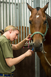 © London News Pictures. 14/07/2015.  Gunner Christie Farren shaves her horse Somme. More usually associated with the ceremonial gun salutes and musical rides with their 13lb guns, they took on the role of both mounted and dismounted guard at the entrance of Horse Guards. This year, for the first time, they are using Knightsbridge Barracks, the home of the Household Cavalry Mounted Regiment, for the period of their duty, as opposed to Wellington Barracks, which they have used in previous years.  Photo credit: Sergeant Rupert Frere/LNP