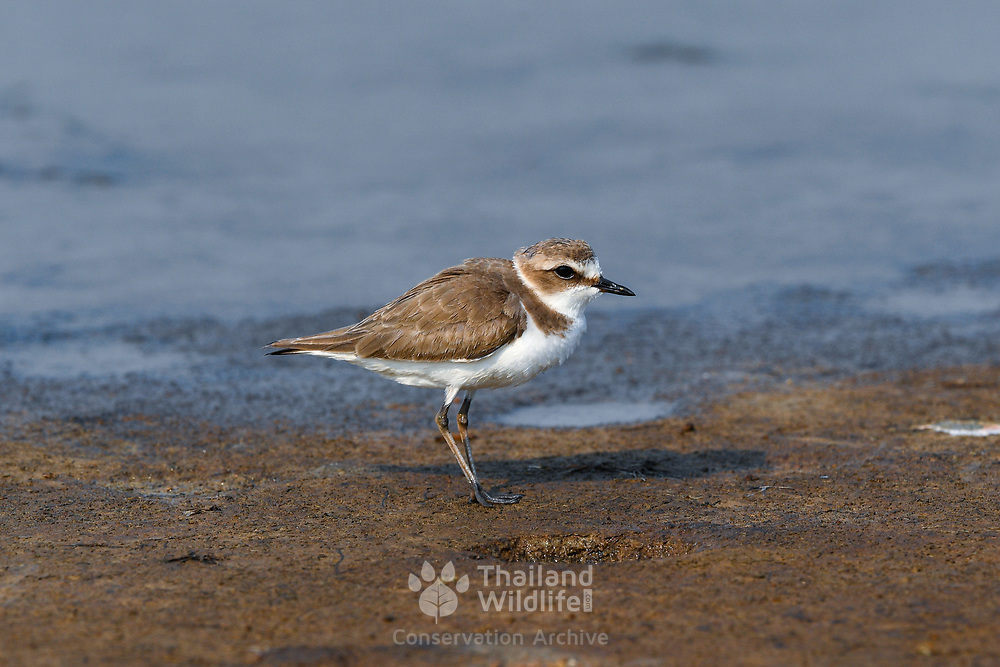 The Malaysian plover (Charadrius peronii) is a small wader that nests on beaches and salt flats in Southeast Asia.