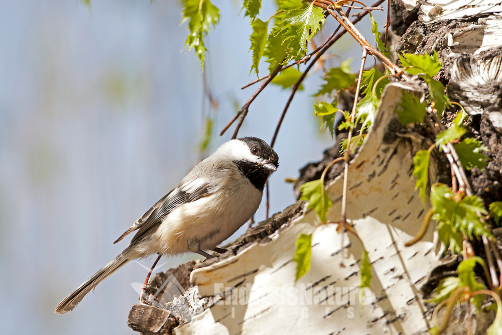 A Black Capped Chickadee stands by a hollow branch in a birch tree in northern Utah.