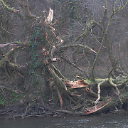 Collapsed Tree, River Tamar