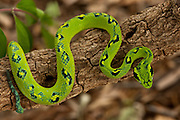 Guatemalan Palm Viper (Bothriechis aurifer)<br /> CAPTIVE<br /> HABITAT &amp; RANGE: Cloud forest at 1200-2300 meters in eastern Chiapas of Mexico and northern Guatemala<br /> IUCN STATUS: VULNERABLE