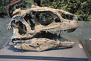 "Found in 1924 at Carnegie Quarry in Dinosaur National Monument, this large fossil Allosaurus head from the Late Jurassic Period (149 million years ago) is one of the best-preserved skulls ever discovered. The theropod (meaning ""beast-footed"") dinosaurs are a diverse group of bipedal saurischian (""lizard-hipped"") dinosaurs. Therapods include the largest carnivores ever to have walked the earth. Not all dinosaurs are extinct, since birds are actually the descendants of small nonflying theropods. In Dinosaur National Monument, the popular Carnegie Dinosaur Quarry displays a spectacular fossilized logjam of Jurassic dinosaur bones in Utah, USA."