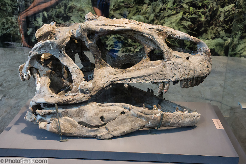 """Found in 1924 at Carnegie Quarry in Dinosaur National Monument, this large fossil Allosaurus head from the Late Jurassic Period (149 million years ago) is one of the best-preserved skulls ever discovered. The theropod (meaning """"beast-footed"""") dinosaurs are a diverse group of bipedal saurischian (""""lizard-hipped"""") dinosaurs. Therapods include the largest carnivores ever to have walked the earth. Not all dinosaurs are extinct, since birds are actually the descendants of small nonflying theropods. In Dinosaur National Monument, the popular Carnegie Dinosaur Quarry displays a spectacular fossilized logjam of Jurassic dinosaur bones in Utah, USA."""