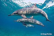 Hawaiian spinner dolphins or Gray's spinner dolphins, Stenella longirostris longirostris, with calf, Kona Coast, Hawaii Island ( Central Pacific )