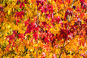Leaves showing the full spectrum of autumn colors hang from a maple tree in Lynnwood, Washington.