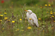 Cattle Egret (Bubulcus ibis) Photographed in Israel in March