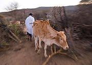 DROUGHT IN ETHIOPIA<br /> <br /> The Borana tribe, part of Oromo people who make up around a third of the Ethiopian population, is suffering from drought for months. Cows are dying, meanwhile many people are complaining the lack of support from the government, thus generating massive uprisings, repressions and killing hundreds of protesters.<br />  Borana live in Kenya, Ethiopia and Somalia with a population of 500,000. They are semi pastoralists. Their life depends on their livestock, which are their only wealth. Their cattle are used in sacrifices and also as dowry or to pay legal fines. For one year, there has been no rain and more than 15,000 cows have died in Ethiopia.<br /> <br /> Photo shows: In Borana culture, mutual aid is the key: those whose cattle are hit by drought will be supported and get free cows from those whose cattle are saved. But nowadays all the areas are under drought: no one can help anybody.<br /> ©Eric lafforgue/Exclusivepix Media