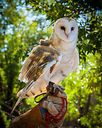A Barn Owl (Tyto alba) in the care of Wildlife Rescue, Inc. of New Mexico (wrinm.org)
