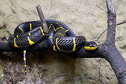 THEMENBILD - Mangroven-Nachtbaumnatter oder der Ularburong (Boiga dendrophila), captive, Vorkommen Asien // Mangrove night tree snakes or the Ularburong (Boiga dendrophila), captive, occurrences Asia. EXPA Pictures © 2017, PhotoCredit: EXPA/ Eibner-Pressefoto/ Schulz<br /> <br /> *****ATTENTION - OUT of GER*****