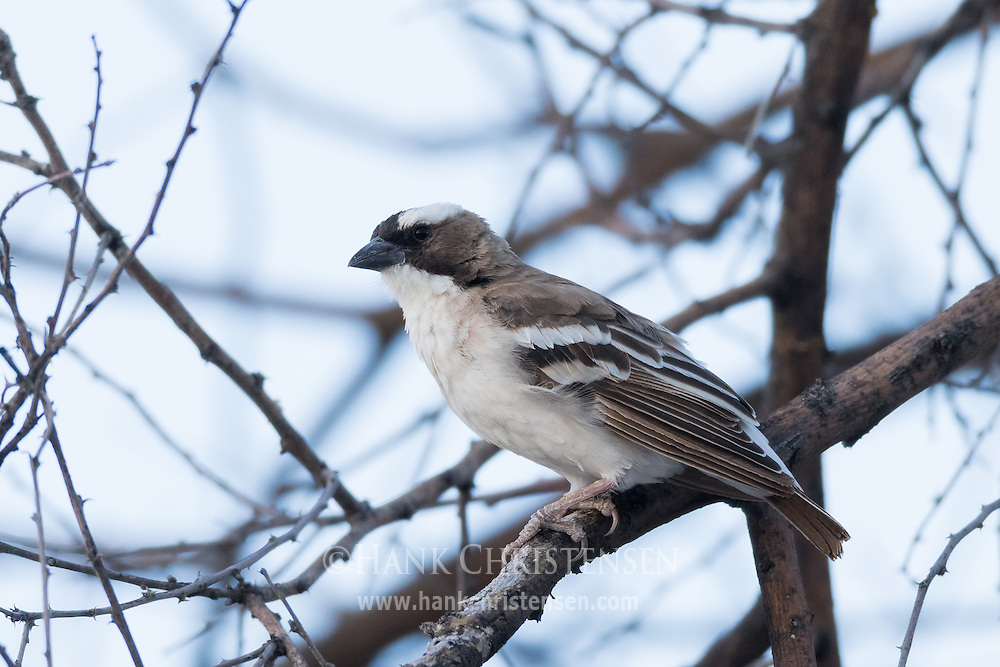 A white-browed sparrow-weaver perches on a tree branch at dusk, Etosha National Park, Namibia.