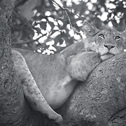It is somewhat uncommon for lions to actually climb trees. There are no more than 2 populations in whole world of such lions that do actually climb trees as one of their day after day behavior. One of these populations is found within the Ishasha sector which is found in the south part of the well known Queen Elizabeth National Park within Uganda.   The other population is found in Lake Manyara National Park in the Southern part of Tanzania.<br />