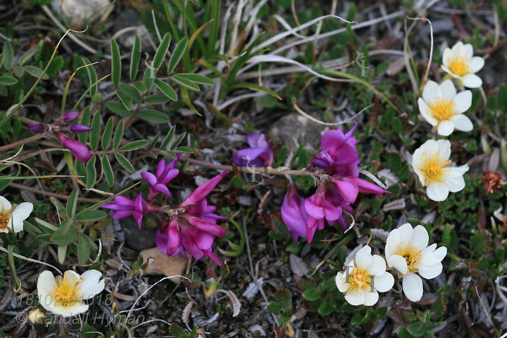 Moss Campion (Silene acaulis) and mountain avens blossom together in July atop Parker Ridge during the short summer of the Canadian Rockies in Banff National Park, Alberta, Canada.