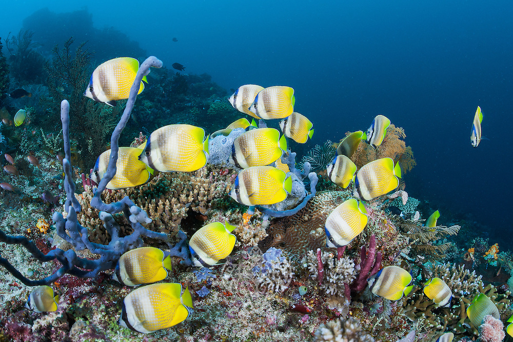 A school of Butterflyfish cruises a reef slope<br /> <br /> Shot in Indonesia