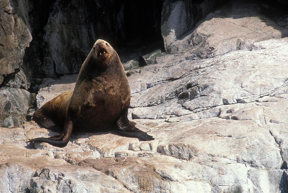 USA, Alaska, Kenai Fjord National Park, Steller Sea Lion Bull (Eumetopias jubatus) on rocks in Resurrection Bay