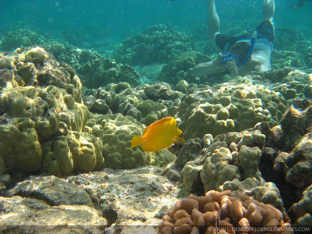 An unidentified snorkeler takes photos of coral and fish on the reef just off Kahaluu Beach Park in Keauhou on the Big Island of Hawaii. In the foreground is a lau'ipala or yellow tang (Zebrasoma flavescens).