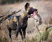 African Wild Dog and Foxes