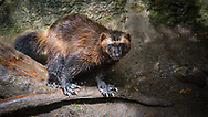 The wolverine, Gulo gulo, also referred to as the glutton, skunk bear, or quickhatch, is the largest land-dwelling species of the family Mustelidae. It is a stocky and muscular carnivore, more closely resembling a small bear than other mustelids. A solitary animal,it has a reputation for ferocity and strength out of proportion to its size, with the documented ability to kill prey many times larger than itself.