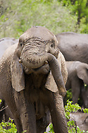 A young African elephant (Loxodonta africana) looks up with his trunk wrapped around a tusk in Kruger National Park, South Africa. http://www.gettyimages.com/detail/photo/funny-elephant-pose-south-africa-royalty-free-image/92063751