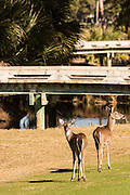Deer gather along the Ocean Creek Golf Course on Fripp Island, SC.