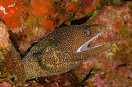 Whitemouth Moray, Gymnothorax meleagris, Maui Hawaii