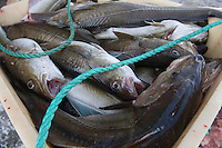 Catch of fish Norway
