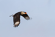 Caracaras are normally found in Central and South America, with Florida being  about the furthest northern limit for this species (Caracara cheriway). Thye are not fast or agile flyers, and make up part of their diet from scavenging.