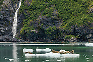 Harbor Seals (Phoca vitulina) hauled out on iceberg in Surprise Inlet in Prince William Sound in Southcentral Alaska. Summer. Afternoon.