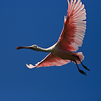 An adult roseate spoonbill (Platalea ajaja) flies from its nest at the natural wader rookery at the St. Augustine Alligator Farm, Anastasia Island, St. Augustine, Florida.  This was the first year that roseate spoonbills nested at the rookery.
