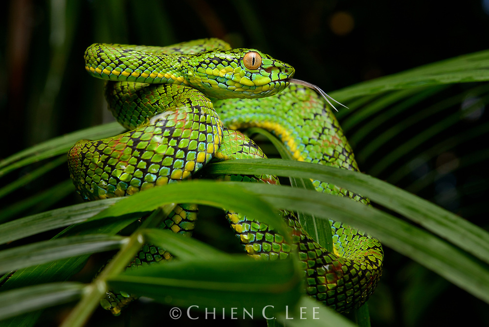 The beautiful Schultze's Pit Viper (Parias schultzei) is endemic to Palawan and offshore islands. Palawan, Philippines.