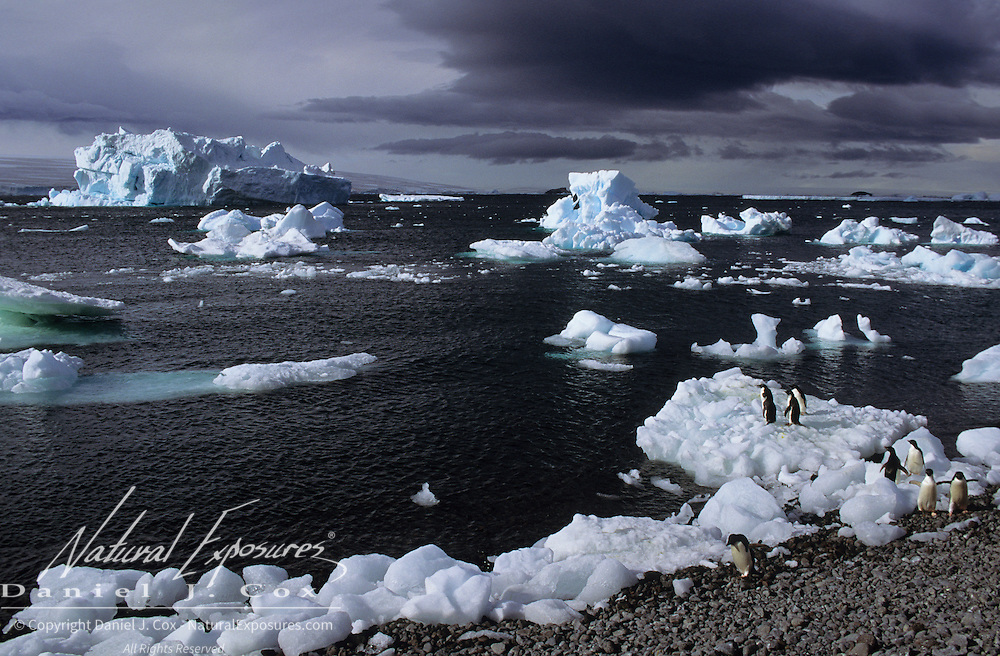 Adelie Penguin colony on the shores of the Antarctic Peninsula.