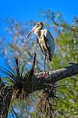 Wood Stork (Mycteria americanus)