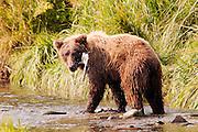 USA, Katmai National Park (AK).Coastal brown bear (Ursus arctos) and salmon face to face
