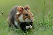 Feldhamster, Feld-Hamster, Europäischer Hamster, Cricetus cricetus, European hamster, black-bellied hamster, common hamster