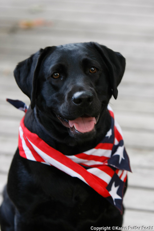Bella, a labrador, dresses up for the 4th of July holiday.