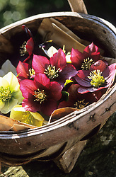 Trug of picked hellebore flowers.