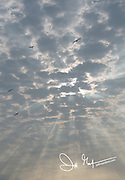 Frigatebirds fly in a cloudy sky steaked with rays of sunshine.