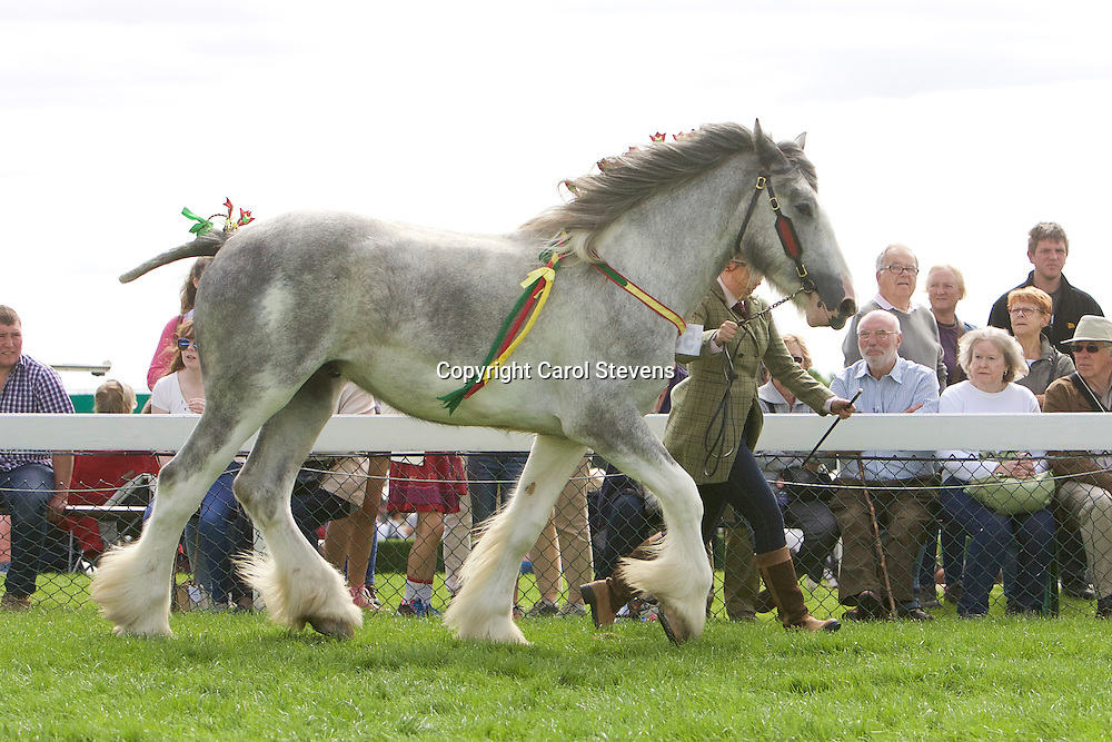 Ms M Watson's Grey Gelding<br /> Manor Perfection<br /> Sire  Metheringham Upton Hamlet<br /> 4th  2yr old Filly or Gelding Class