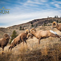 bighorn sheep headbutting montana