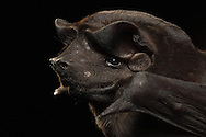 Bonda Mastiff Bat (Molossus bondae), La Selva Biological Station, Costa Rica. <br />