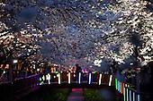 CHERRY_BLOSSOM_JINHAE_KOREA