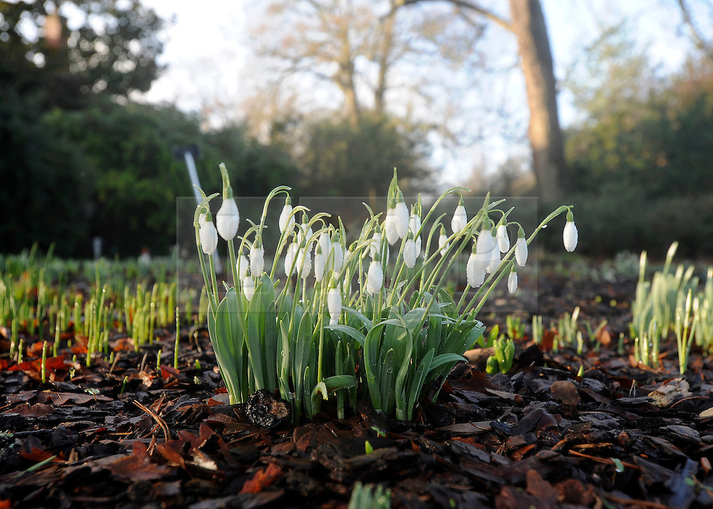 © London News Pictures. 2011/01/18 .Snowdrops at RHS Wisley, Woking, Surrey today (Tues). Picture credit should read Stephen Simpson/LNP