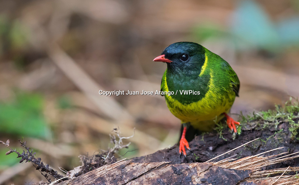 Green-and-black Fruiteater (Pipreola riefferii), Jardin, Antioquia