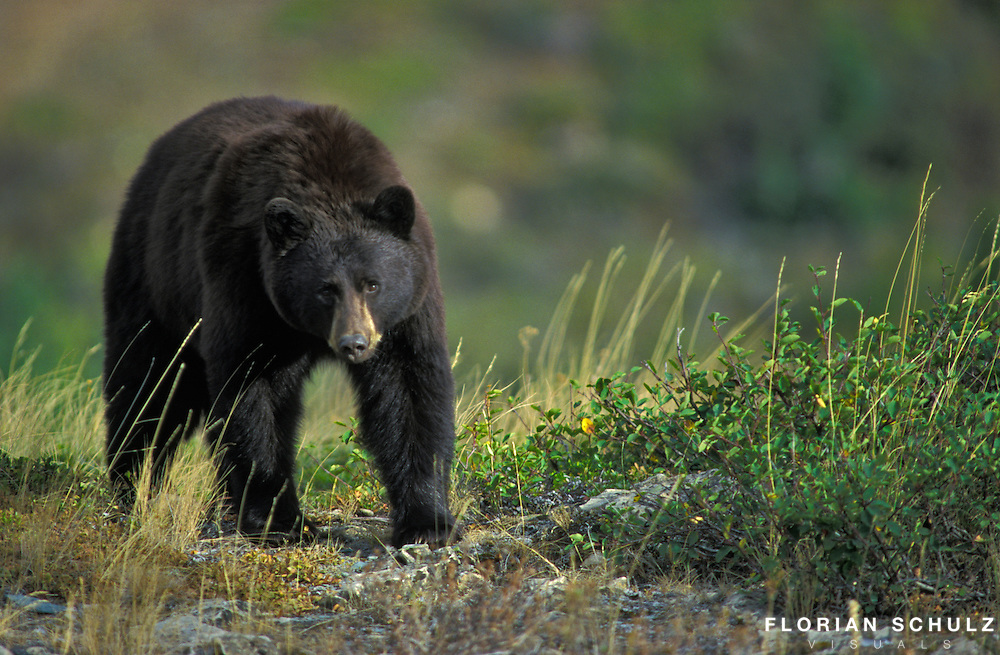 Black Bear searching for berries on a subalpine meadow. Glacier NP. Montana, USA