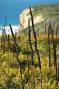 Grass Tree, (Xanthorrhoea ssp.) Awabakal coast, Australia