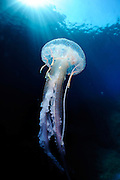 Common Jelly (Pelagia noctiluca) [size of single organism: 30 cm]