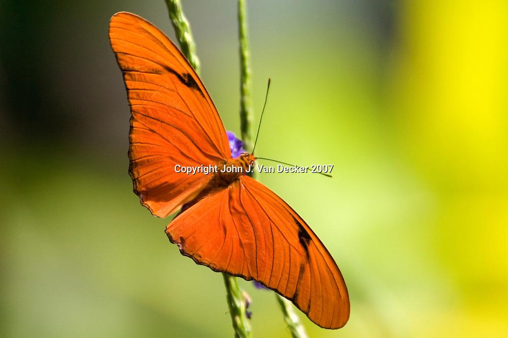 Julia Longwing butterfly with wings spread.